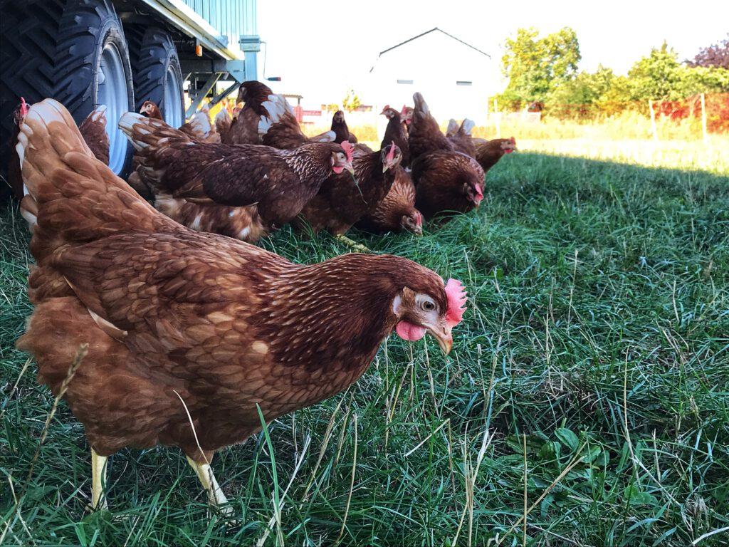 Unsere Weidehühner